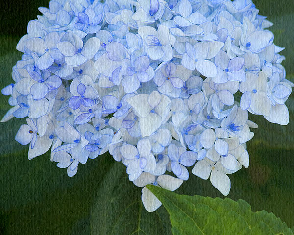 Periwinkle Blue Hydrangea Print by Bonnie Bruno