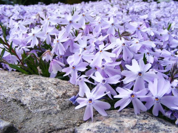 Periwinkle Colored Phlox Photograph  - Periwinkle Colored Phlox Fine Art Print