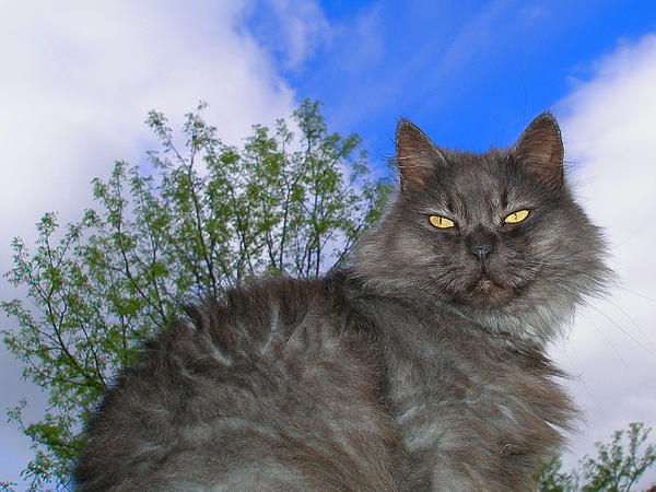 Zsuzsa Balla - Persian King Cat