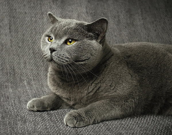 Pet Portrait Of British Shorthair Cat Print by Nancy Branston