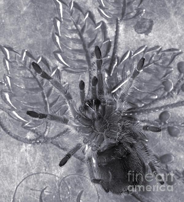 Pet Rose Hair Tarantula On Antique Silverplate Print by Janeen Wassink Searles