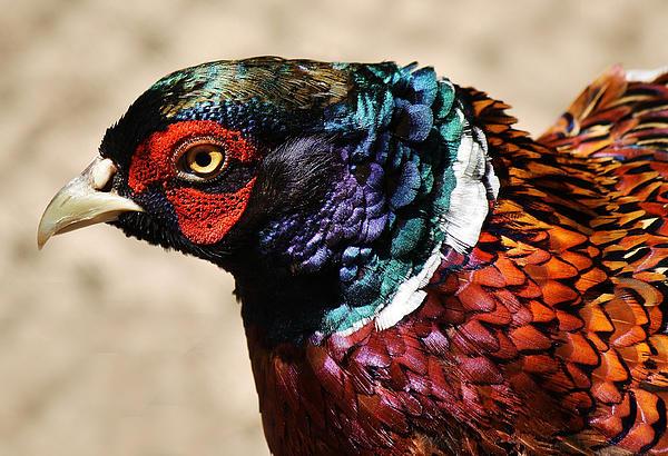 Pheasant Print by Paulette Thomas