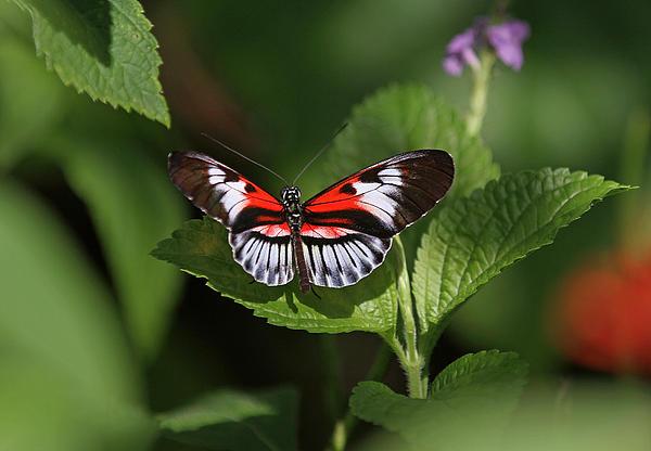 Juergen Roth - Piano Key Butterfly