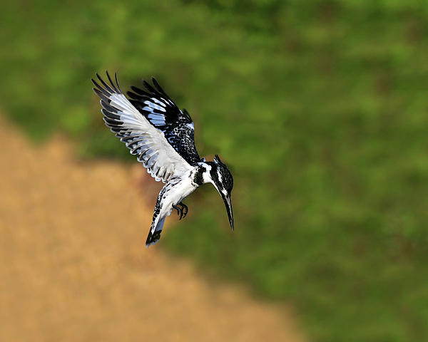 Pied Kingfisher Print by Tony Beck
