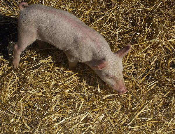 Pig. Yummy Roasted Print by Michael Clarke JP
