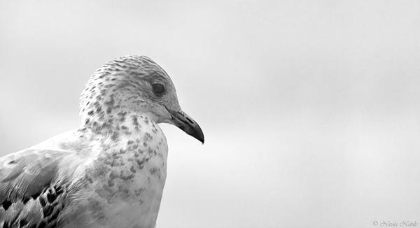 Nicola Nobile - Pigeon Pride