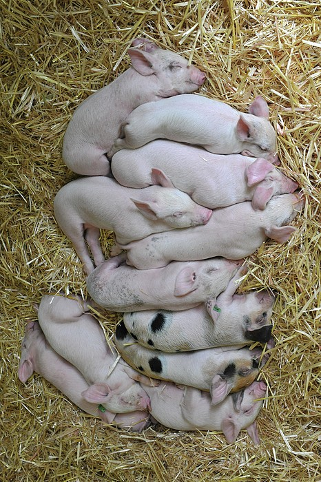Piglets Print by Rebecca Richardson