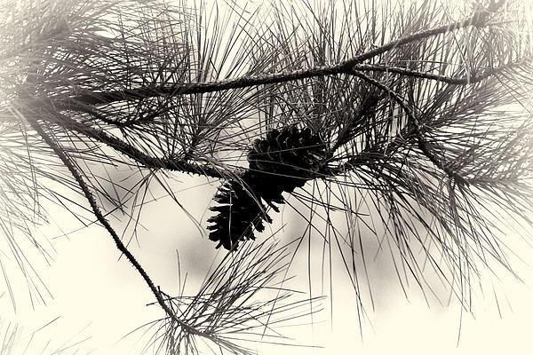 Pine Cones In The Treetops Print by Douglas Barnard
