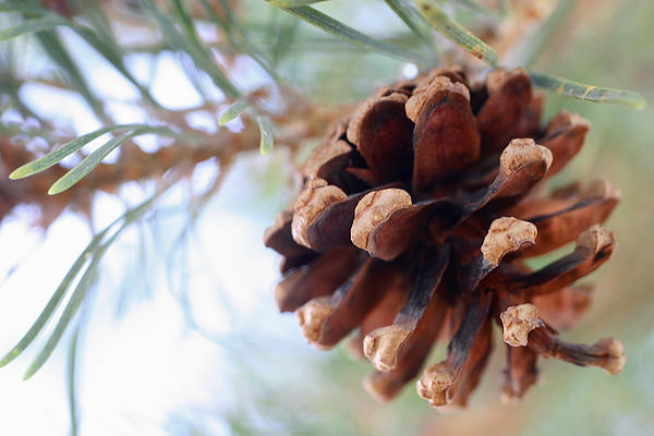 JL Creative  Captures - Pinecone