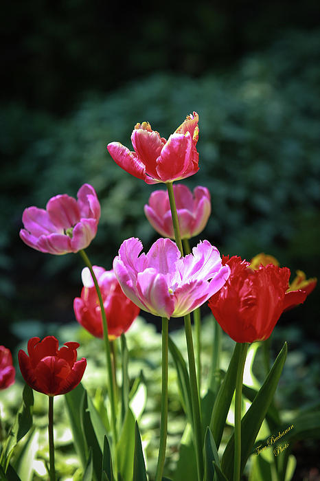 Pink And Red Tulips Print by Tom Buchanan