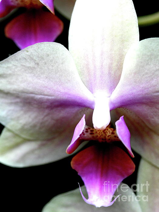 Pink And White Phalanopsis Orchid Flower . 7d5746 Print by Wingsdomain Art and Photography