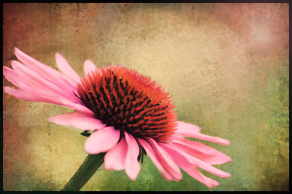 Pink Beauty Print by Darren Fisher