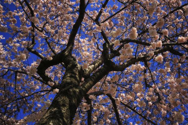 Shelley Neff - Pink Blossoms