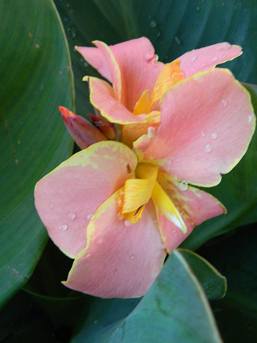 Pink Canna Lily With Raindrops Print by Warren Thompson