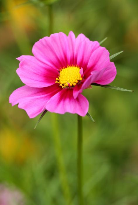 Pink Cosmo Print by Steve Augustin