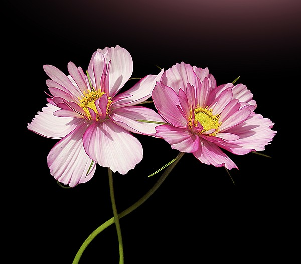 Pink Cosmos Flower Print by Gitpix