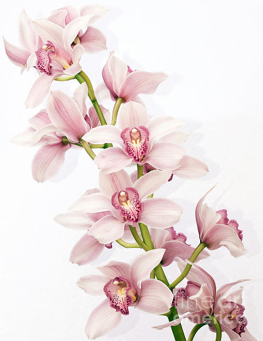 Shannon Smith - Pink Cymbidium Orchids