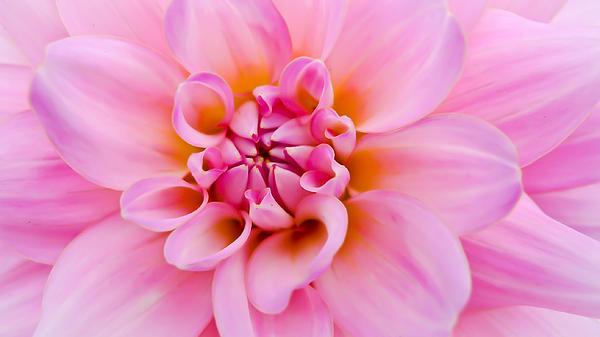 Ronda Broatch - Pink Dahlia