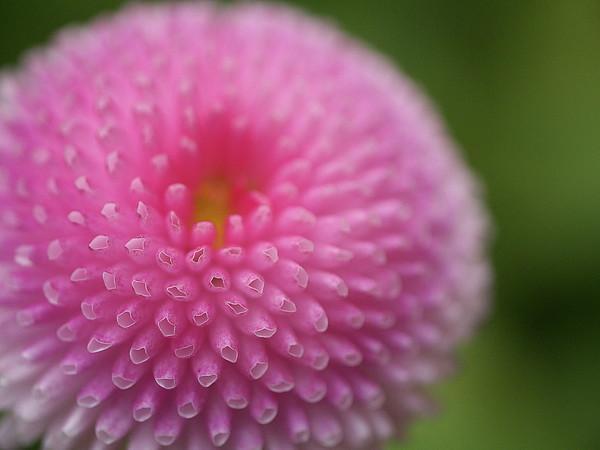 Pink Daisy Flower Print by Myu-myu