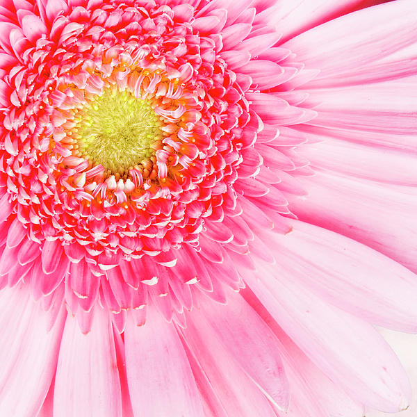 Pink Delight II Print by Tamyra Ayles