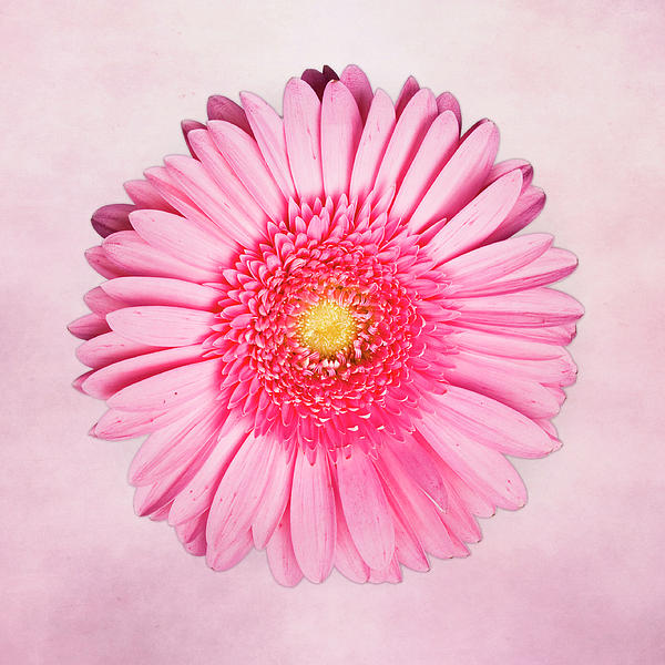 Pink Delight Print by Tamyra Ayles