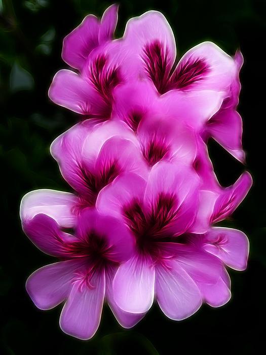 Cindy Wright - Pink Geranium Flowers 2 Abstract