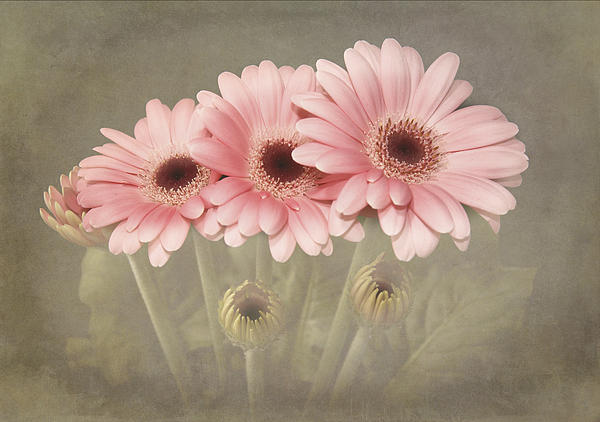 Paul and Fe Photography Messenger - Pink Gerbera Daisys