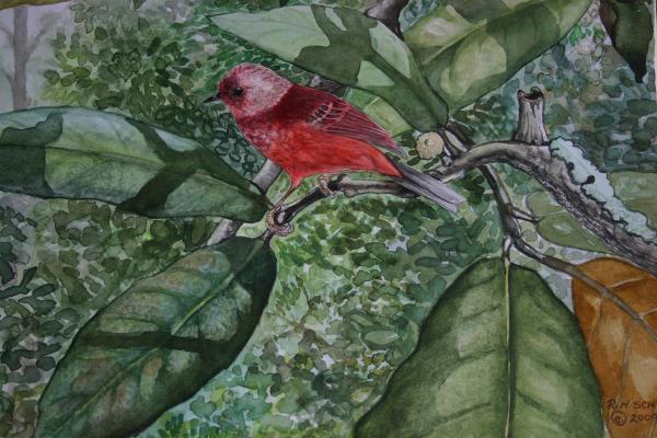 Robin Schiele - Pink Headed Warbler