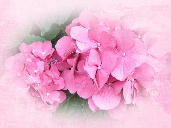 Mother Nature - Pink Hydrangea - Hydrangea macrophylla
