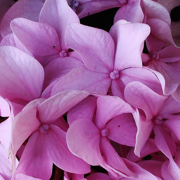 Pink Hydrangea Up Close Print by Bruce Bley