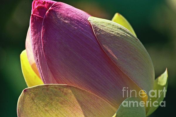 Pink Lotus Bud Print by Heiko Koehrer-Wagner