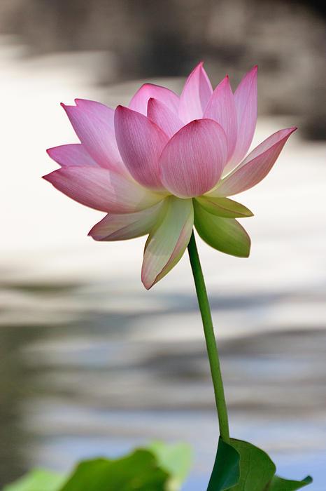 Pink Lotus Vertical Print by Dina Calvarese