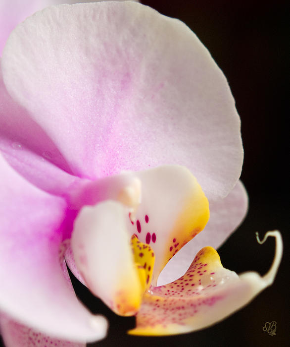 Barbara Middleton - Pink Moth Orchid
