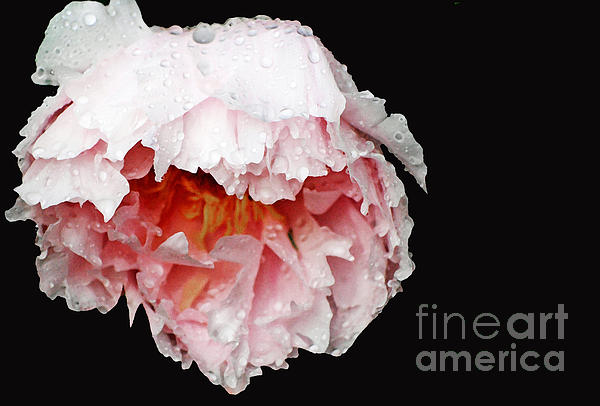 Pink  Peonies In The Rain Print by AdSpice Studios