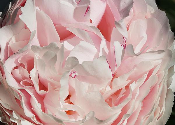 Cindi Ressler - Pink Peony