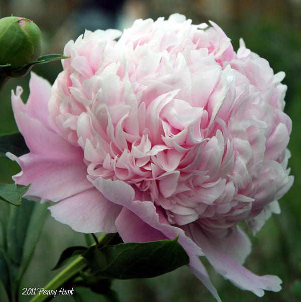 Penny Hunt - Pink Peony Perfection