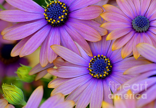Pink Petals And Blue Buttons Print by Julie Palencia