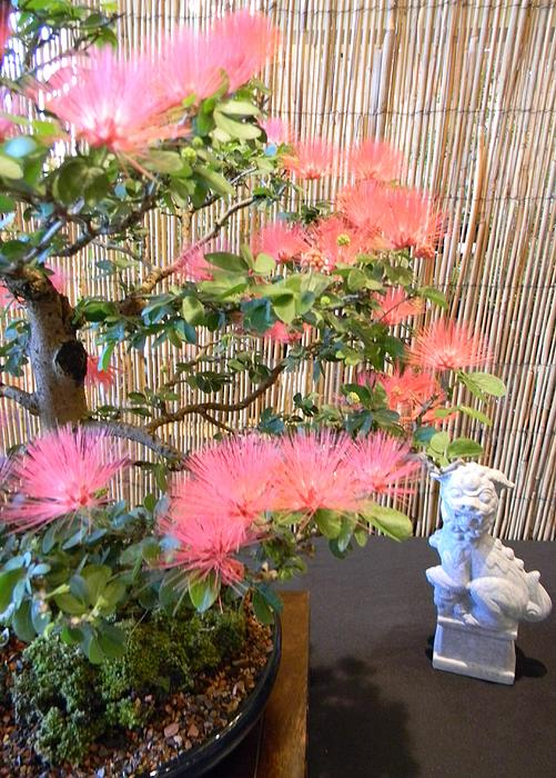 Pink Powder Puff Bonsai Photograph  - Pink Powder Puff Bonsai Fine Art Print