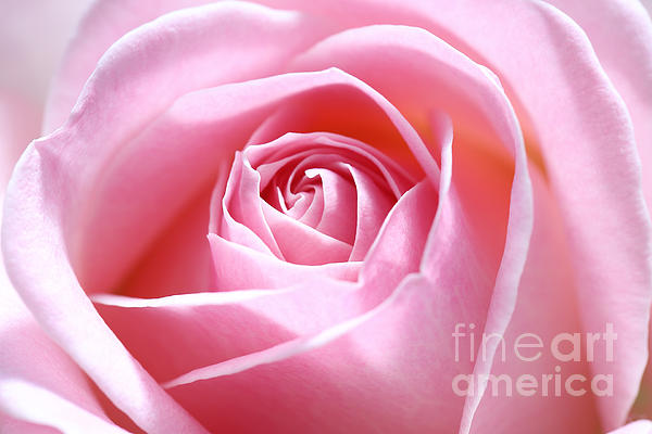 HJBH Photography - Pink rose