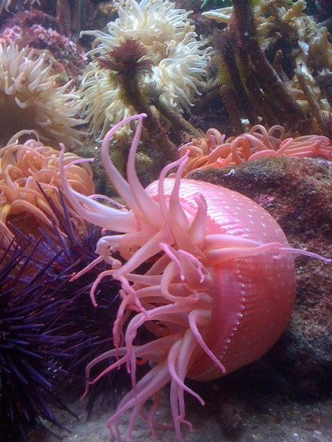 Linda  Dawn Carson - Pink Sea Anemone