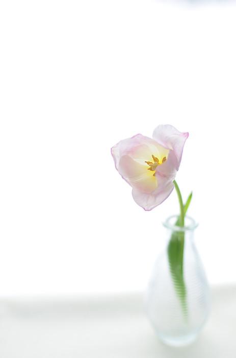Pink Tulip In Glass Vase On White Background Print by Photo by Ira Heuvelman-Dobrolyubova