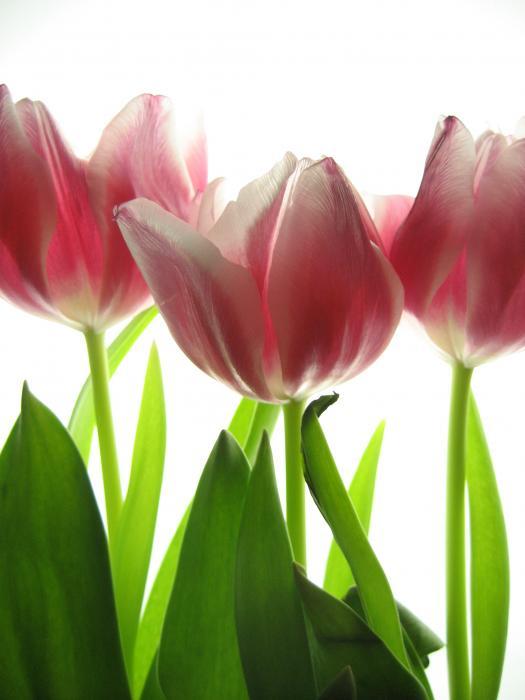 Jane Linders - Pink tulips