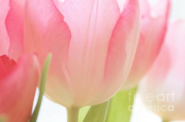 Kim Fearheiley - Pink Tulips