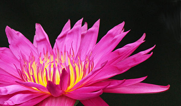 Pink Water Lily Print by Becky Lodes