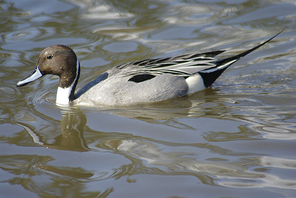 Pintail Duck Print by Marilyn Wilson