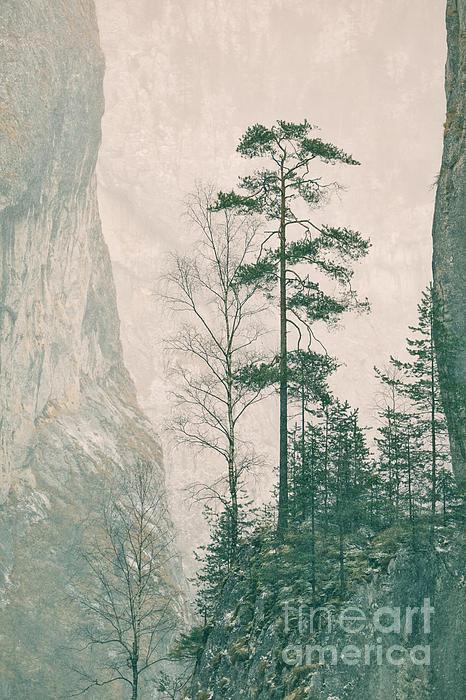 Pinus Sylvestris Print by Gabriela Insuratelu