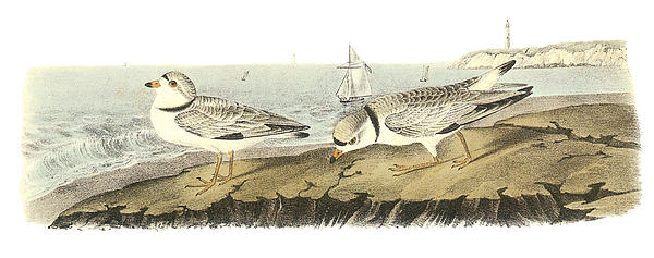 Piping Plover Print by John James Audubon
