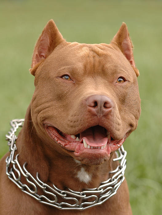 Pitbull red nose dog portrait Greeting Card for Sale by Waldek ...