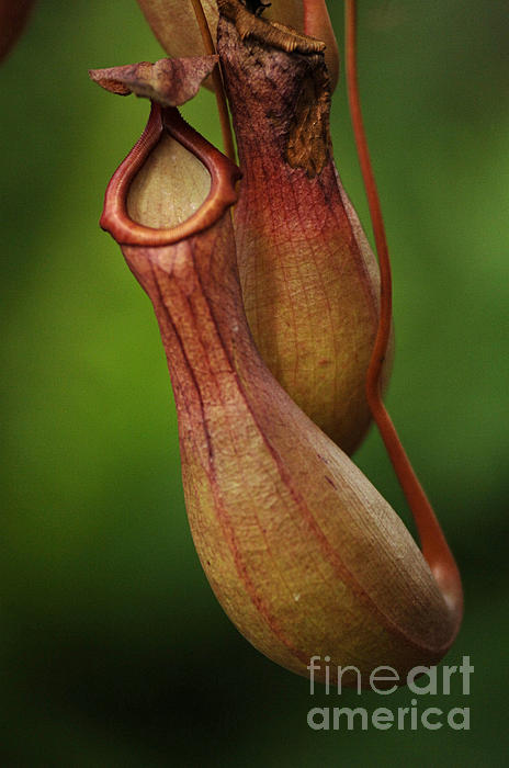Bob Christopher - Pitcher Plant