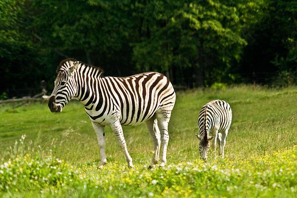 Plains Zebra 1 Print by Douglas Barnett